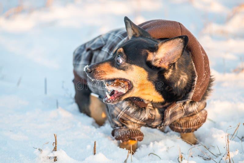 Χαριτωμένο σκυλί το χειμώνα με τα ενδύματα που τρώει ένα κόκκαλο στοκ εικόνα με δικαίωμα ελεύθερης χρήσης