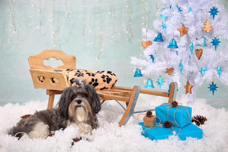 Χαριτωμένο σκυλί Bichon Havanese μπροστά από ένα ξύλινο έλκηθρο, τεχνητό χιόνι, άσπρο χριστουγεννιάτικο δέντρο με τις ξύλινες και στοκ φωτογραφίες