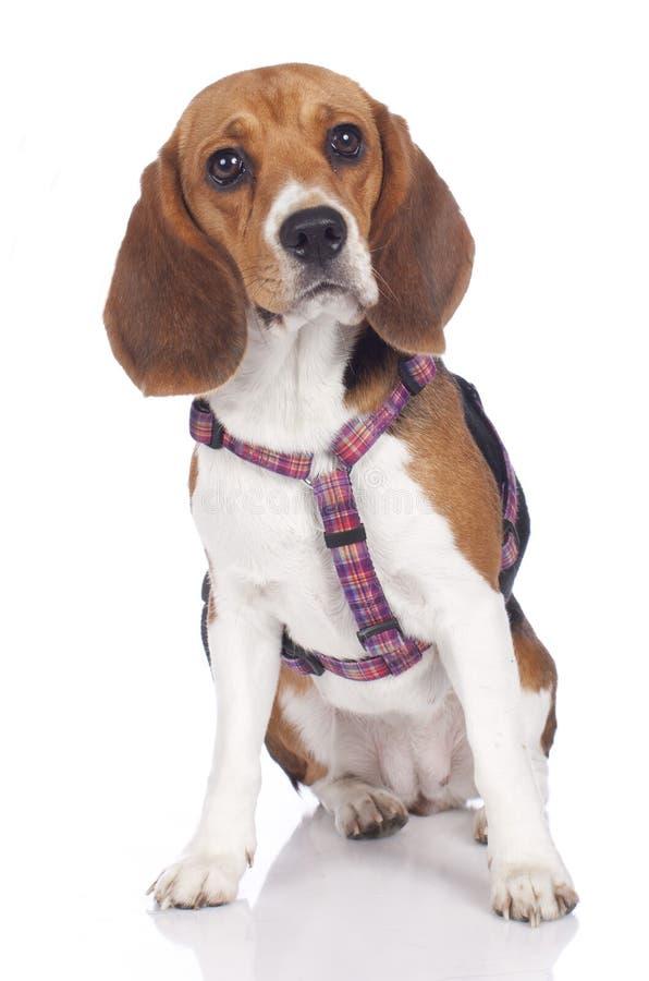 Χαριτωμένο σκυλί λαγωνικών με το λουρί στοκ εικόνα με δικαίωμα ελεύθερης χρήσης