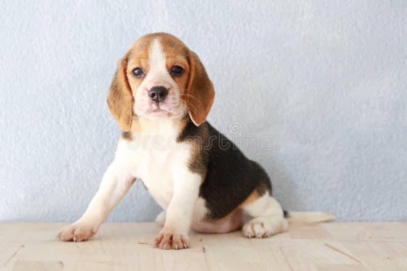 χαριτωμένο σκυλί κουταβιών λαγωνικών στοκ φωτογραφία