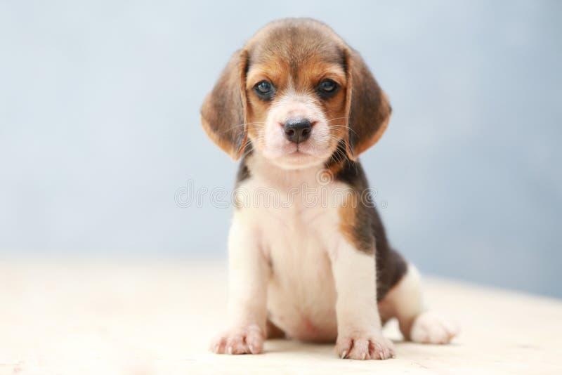 χαριτωμένο σκυλί κουταβιών λαγωνικών στοκ εικόνες