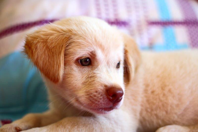 Χαριτωμένο σκυλί κουταβιών που στηρίζεται στο κρεβάτι στοκ φωτογραφία