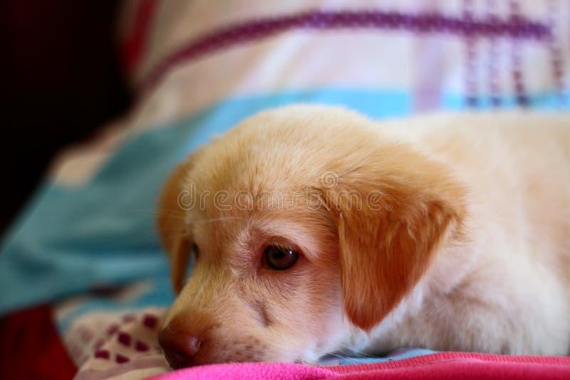 Χαριτωμένο σκυλί κουταβιών που στηρίζεται στο κρεβάτι στοκ εικόνα
