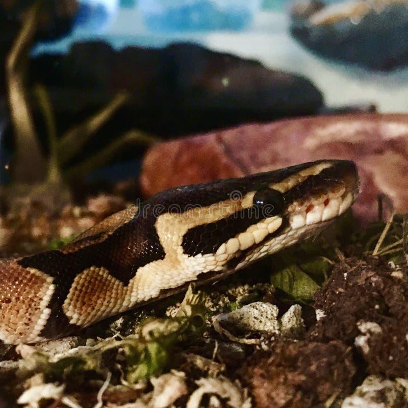 Χαριτωμένο φίδι της Pet στο ρύπο στοκ εικόνες