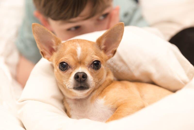 Χαριτωμένο Chihuahua και νέο αγόρι στοκ φωτογραφία