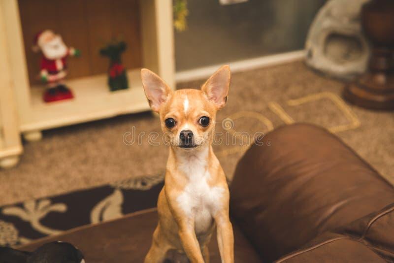 Χαριτωμένο chihuahua στον καναπέ στοκ φωτογραφίες με δικαίωμα ελεύθερης χρήσης