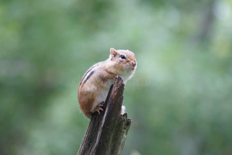 Χαριτωμένο chipmunk που σκαρφαλώνει επάνω σε ένα κούτσουρο στοκ φωτογραφία με δικαίωμα ελεύθερης χρήσης