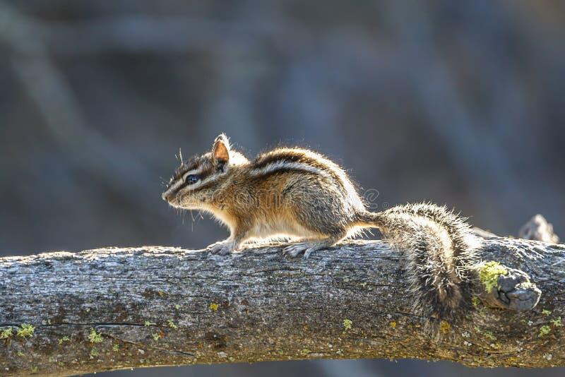 Χαριτωμένο chipmunk σε ένα κούτσουρο στοκ φωτογραφίες