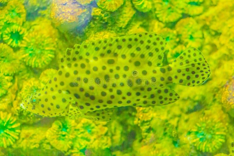 Χαριτωμένο grouper humpback, grouper πάνθηρων, ή βακαλάος barramundi (Cromi στοκ εικόνες