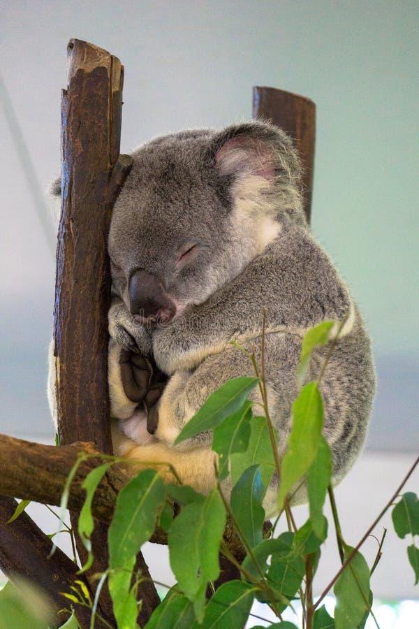 Χαριτωμένο Koala που στηρίζεται στο ζωολογικό κήπο, Μπρίσμπαν, Αυστραλία στοκ φωτογραφία με δικαίωμα ελεύθερης χρήσης