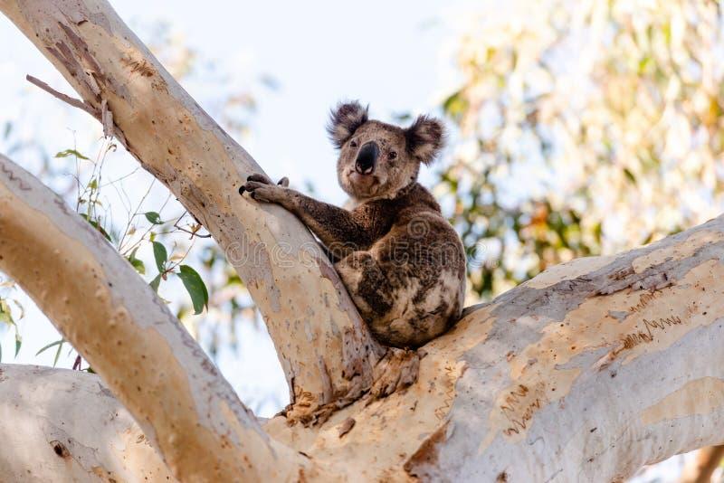 Χαριτωμένο koala στο δέντρο ευκάλυπτου στοκ φωτογραφίες με δικαίωμα ελεύθερης χρήσης