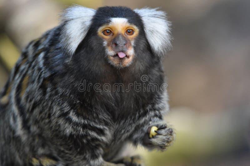 Χαριτωμένο marmoset που σπρώχνει έξω τη γλώσσα του στοκ εικόνες