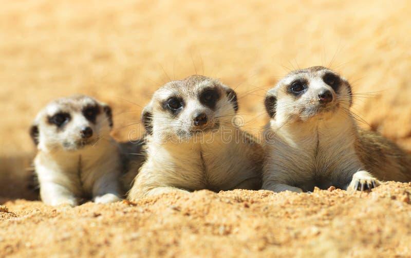 χαριτωμένο meerkat στοκ εικόνες