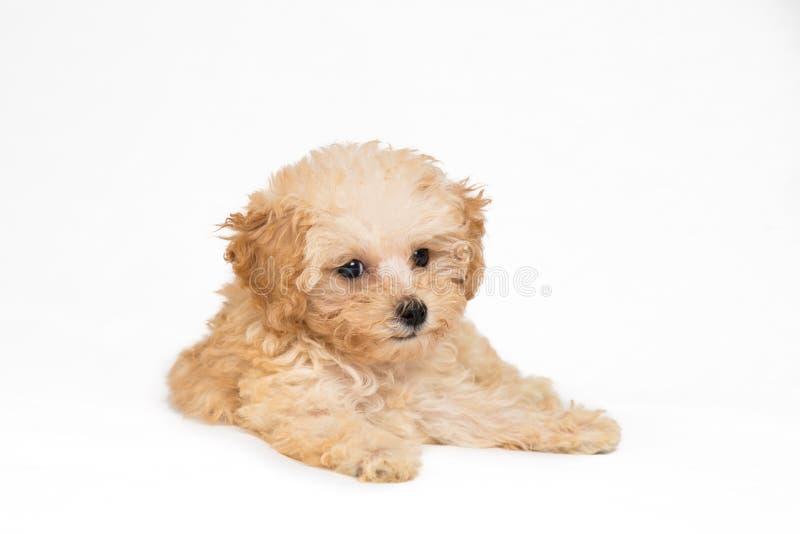 Χαριτωμένο poodle κουτάβι που στηρίζεται στην κοιλιά της στοκ φωτογραφία