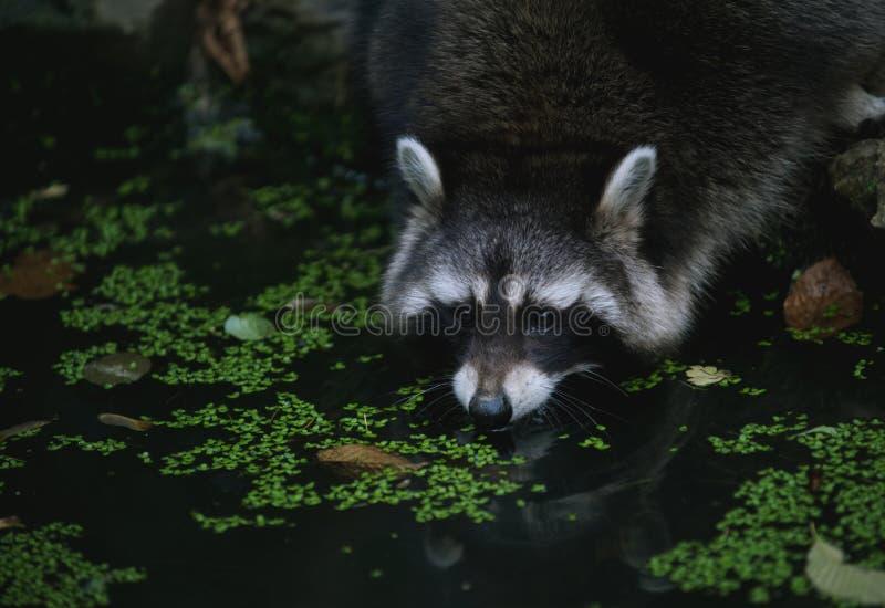 Χαριτωμένο Racoon στη μικρή λίμνη στο δάσος στοκ εικόνες