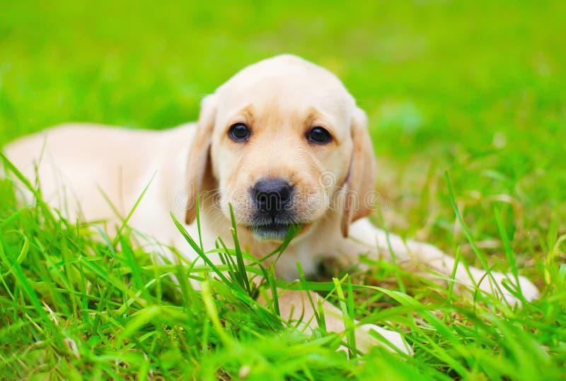 Χαριτωμένο Retriever του Λαμπραντόρ κουταβιών σκυλιών δαγκώνει τη χλόη στοκ εικόνα με δικαίωμα ελεύθερης χρήσης