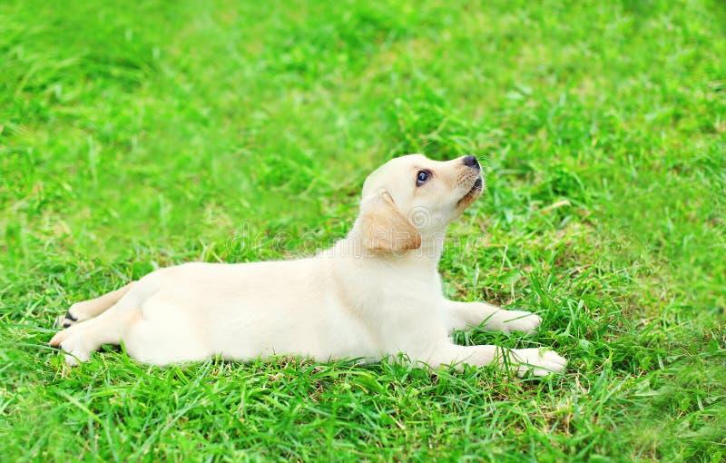 Χαριτωμένο Retriever του Λαμπραντόρ κουταβιών σκυλιών να βρεθεί που στηρίζεται στη χλόη στοκ φωτογραφία