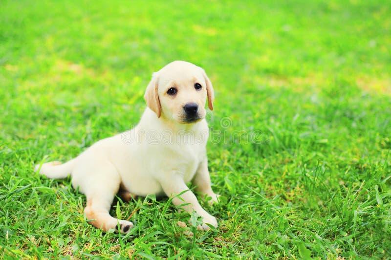 Χαριτωμένο Retriever του Λαμπραντόρ κουταβιών σκυλιών να βρεθεί που στηρίζεται στη χλόη στοκ φωτογραφία με δικαίωμα ελεύθερης χρήσης