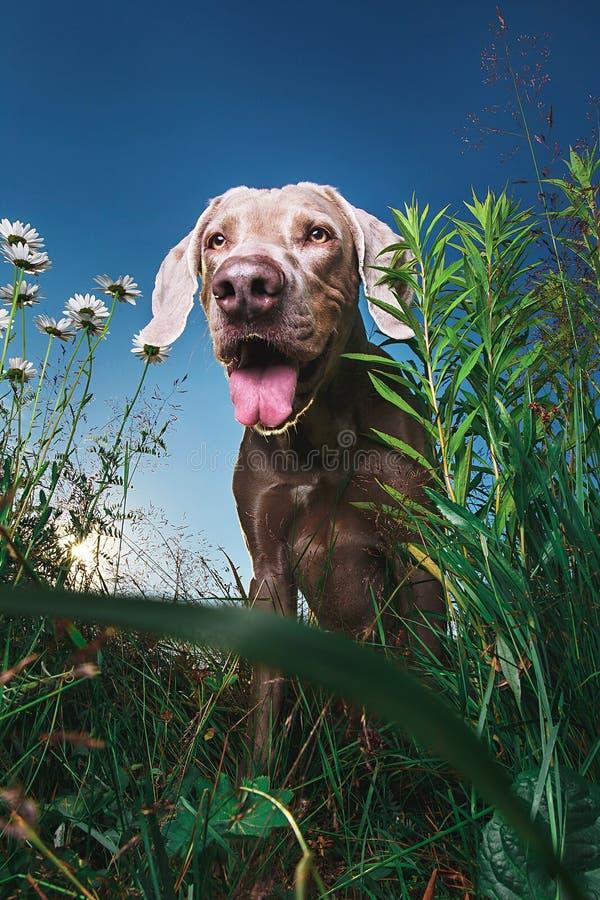 Χαρούμενο καφέ σκυλί που στέκεται στη φύση Ηλιόλουστη μέρα στοκ εικόνες