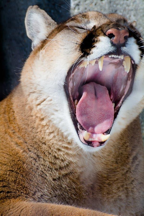 Χασμουρητό Cougar στοκ εικόνες