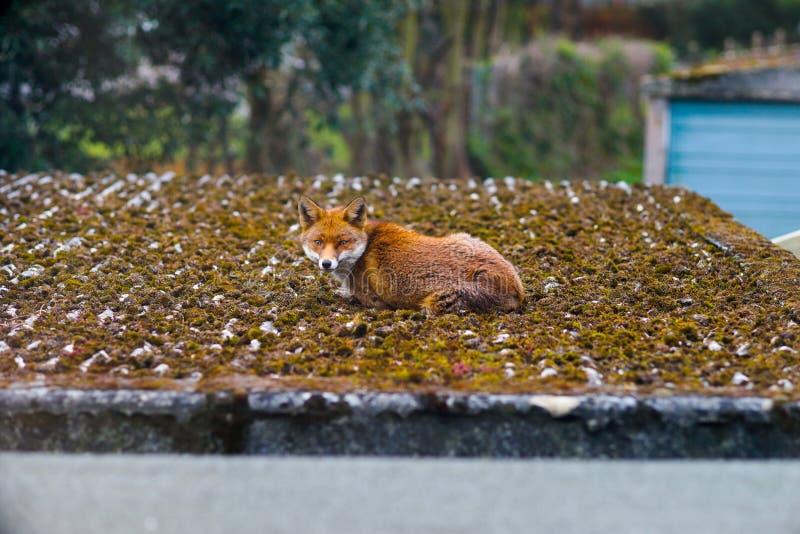 Χαλάρωση αλεπούδων σε μια στέγη σε ένα προάστιο του Λονδίνου το πρωί στοκ εικόνες με δικαίωμα ελεύθερης χρήσης