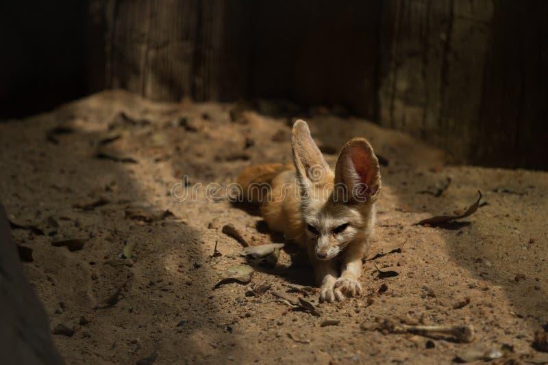 Χαλάρωση αλεπούδων Fennec στοκ φωτογραφία με δικαίωμα ελεύθερης χρήσης
