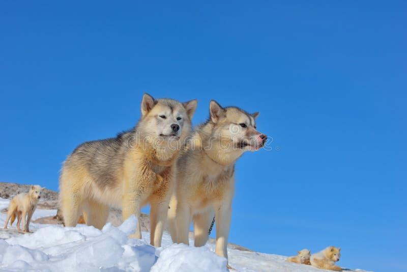 Χαλάρωση σκυλιών ελκήθρων της Γροιλανδίας στοκ φωτογραφίες με δικαίωμα ελεύθερης χρήσης
