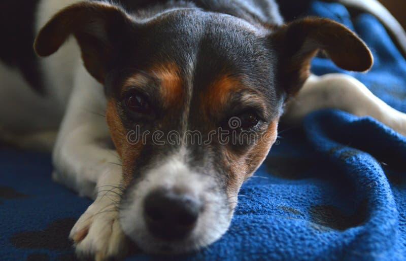 Χαλάρωση τεριέ του Jack Russell σε ένα μπλε κάλυμμα στοκ φωτογραφία με δικαίωμα ελεύθερης χρήσης