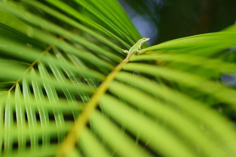 Χαλάρωση Gecko στο πράσινο τροπικό φύλλο στοκ εικόνες