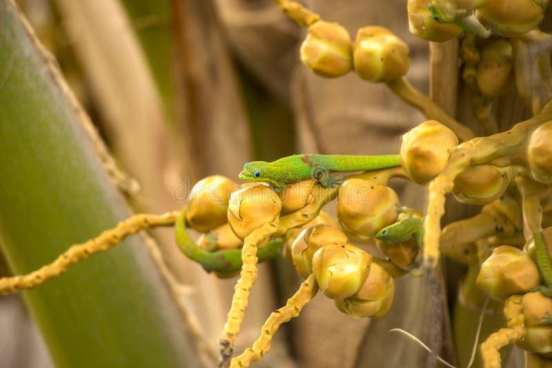 Χαλάρωση Geckos στοκ φωτογραφία με δικαίωμα ελεύθερης χρήσης