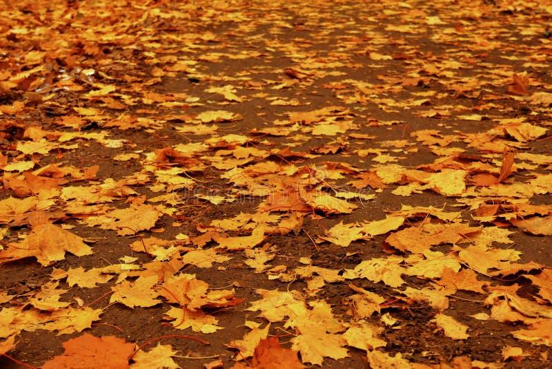 Χαλαρός δρόμος φθινοπώρου με τα κίτρινα φύλλα του σφενδάμνου στοκ εικόνα με δικαίωμα ελεύθερης χρήσης