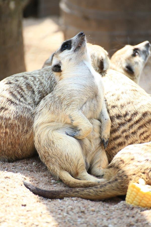 Χαλαρώνοντας ημέρα Meerkat στοκ φωτογραφία