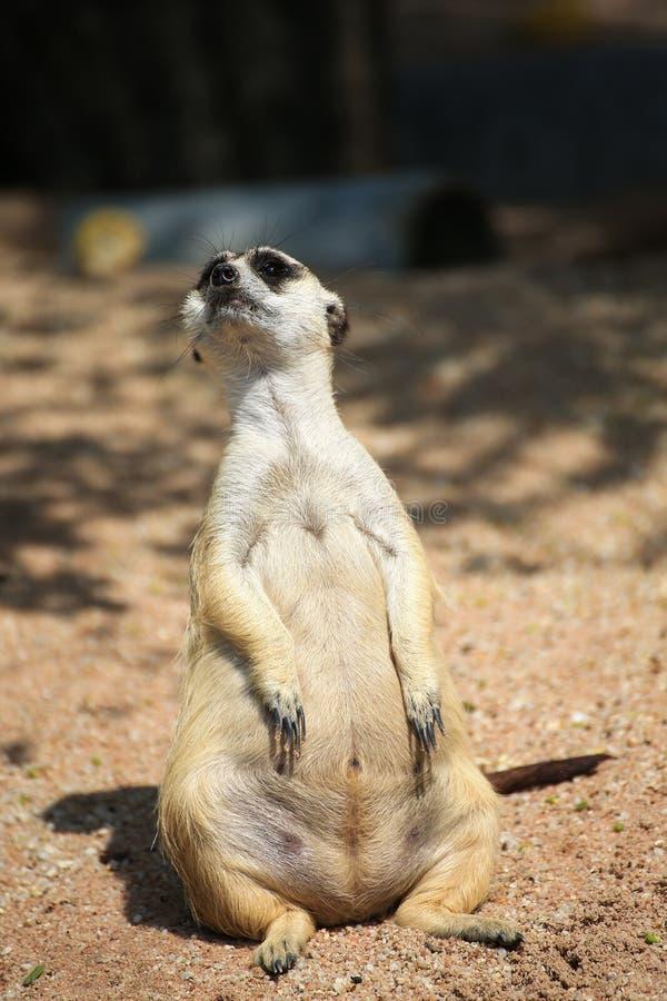 Χαλαρώνοντας ημέρα Meerkat στοκ φωτογραφίες με δικαίωμα ελεύθερης χρήσης