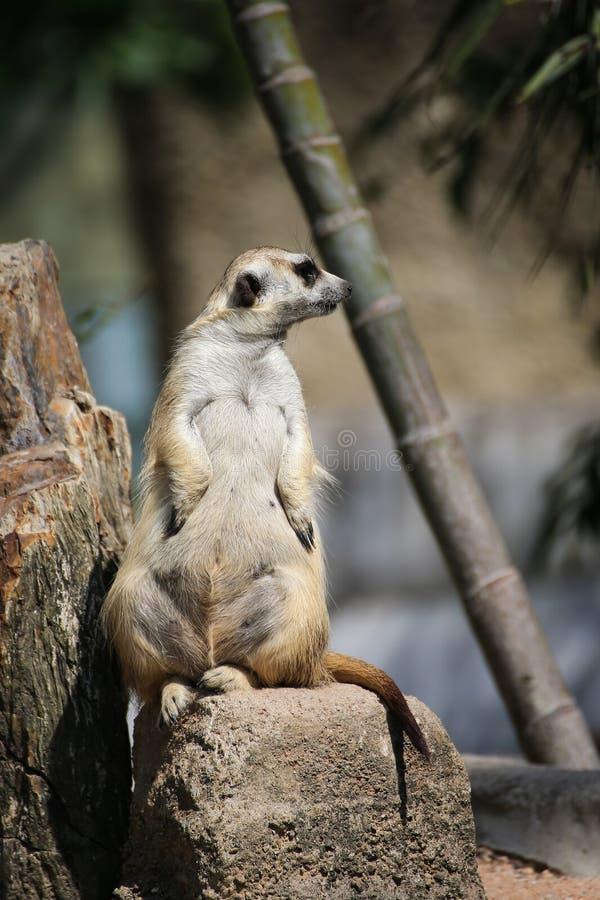 Χαλαρώνοντας ημέρα Meerkat στοκ εικόνα με δικαίωμα ελεύθερης χρήσης