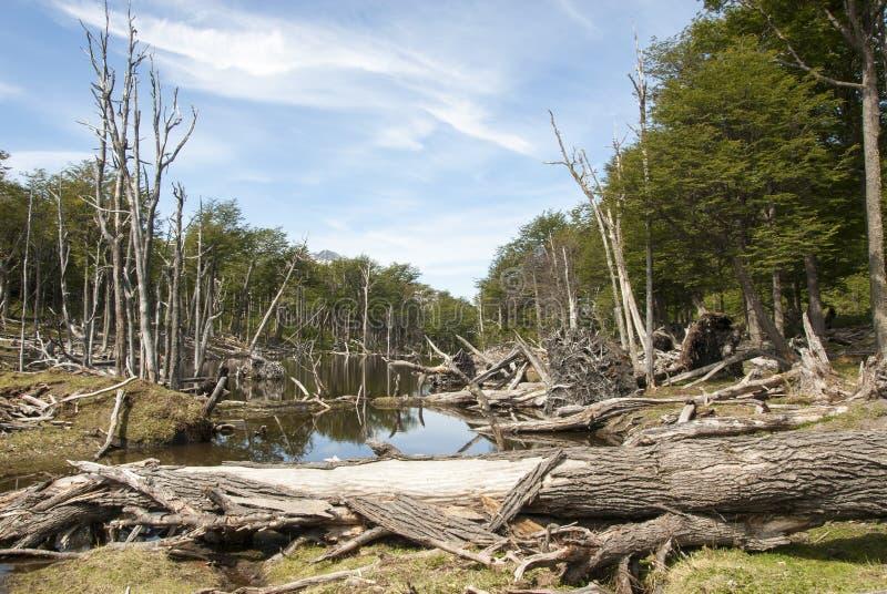 Χαλασμένα δάση - Αργεντινή - Ushuaia - Γη του Πυρός στοκ εικόνα