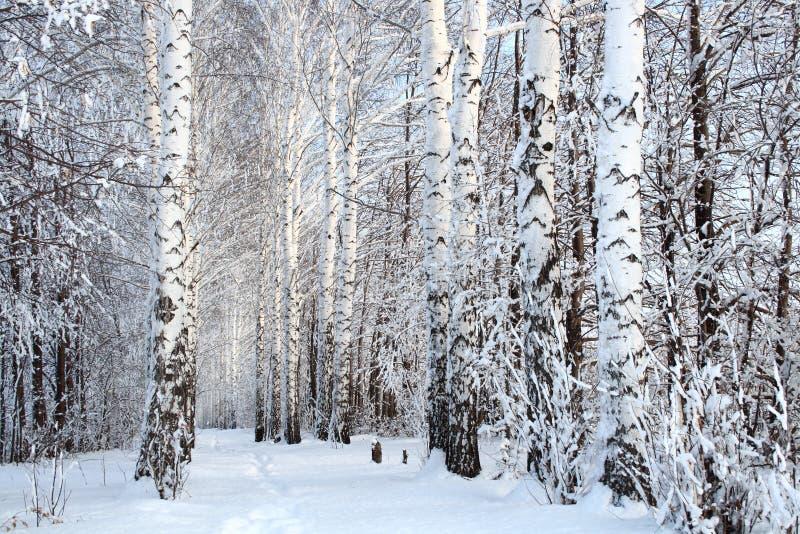 χειμερινά δάση σημύδων αλ&epsilon στοκ φωτογραφίες με δικαίωμα ελεύθερης χρήσης