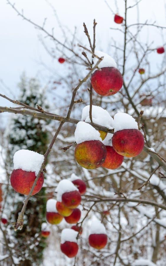 Χειμερινά μήλα στοκ εικόνα με δικαίωμα ελεύθερης χρήσης