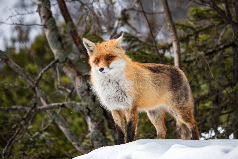 Χειμερινή αλεπού στοκ φωτογραφία με δικαίωμα ελεύθερης χρήσης