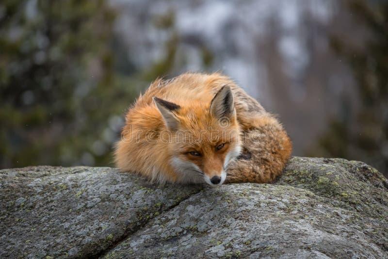 Χειμερινή αλεπού στοκ εικόνες