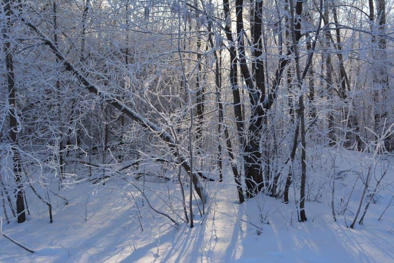 Χειμερινή ημέρα στα δασικά δέντρα που καλύπτονται με το hoarfrost τον Ιανουάριο στοκ φωτογραφίες με δικαίωμα ελεύθερης χρήσης