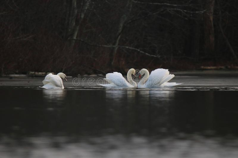 Χειμερινοί κύκνοι που κολυμπούν σε μια λίμνη στοκ φωτογραφία