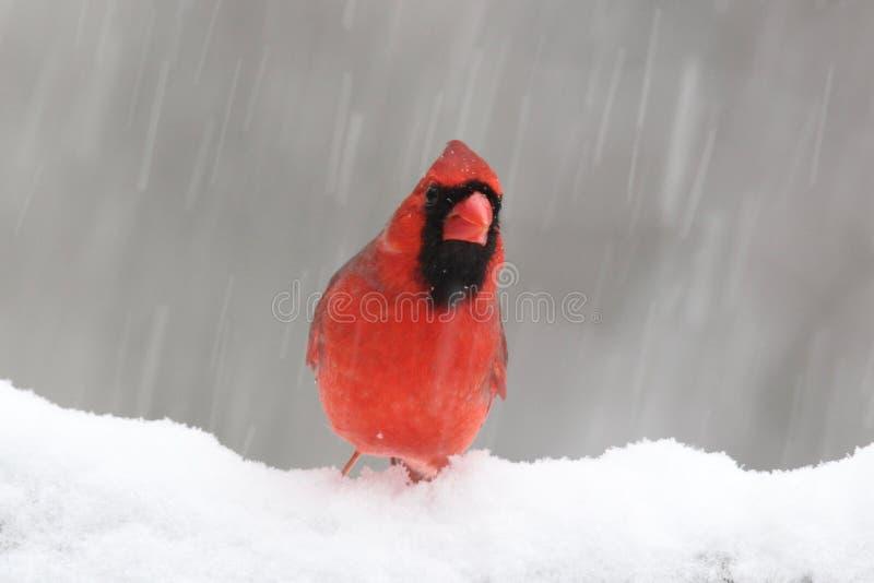 Χειμερινός βόρειος καρδινάλιος σε μια χιονοθύελλα στοκ φωτογραφία με δικαίωμα ελεύθερης χρήσης
