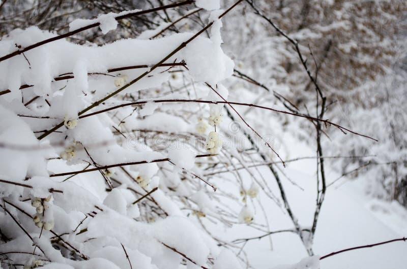 Χειμερινό άσπρο μούρο στοκ εικόνα