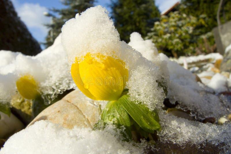χειμερινό ακόνιτο στοκ φωτογραφίες με δικαίωμα ελεύθερης χρήσης