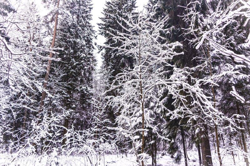Χειμερινό δάσος θαύματος που καλύπτεται από το χιόνι στοκ φωτογραφία με δικαίωμα ελεύθερης χρήσης