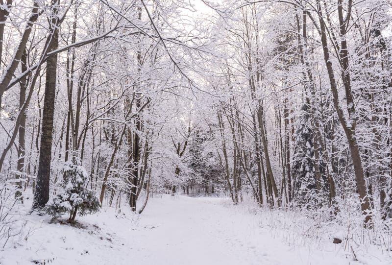 Χειμερινό δάσος θαύματος που καλύπτεται από το χιόνι στοκ φωτογραφίες με δικαίωμα ελεύθερης χρήσης