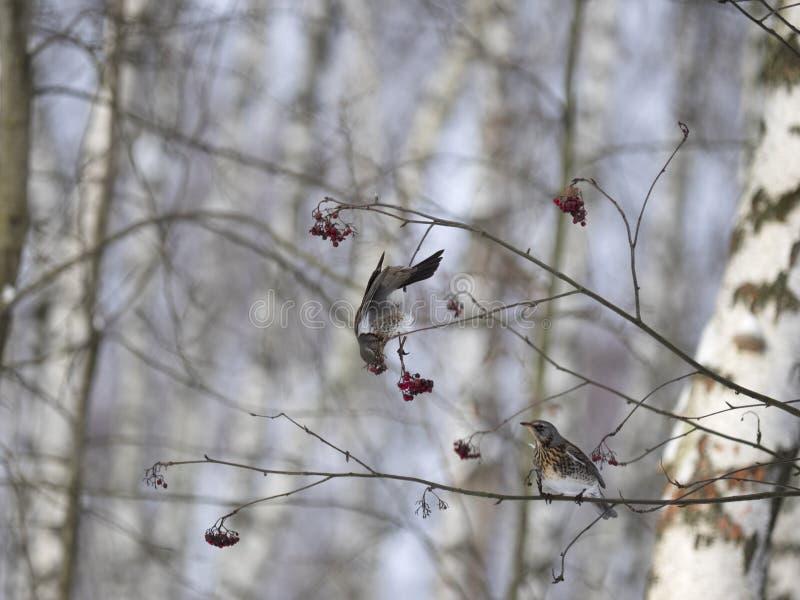 Χειμερινό δάσος! Πουλιά που ραμφίζουν τα μούρα! στοκ εικόνα με δικαίωμα ελεύθερης χρήσης