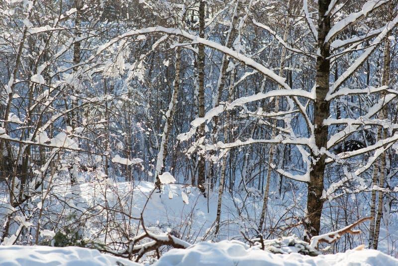 Χειμερινό δάσος σε χιονοσημύδα στοκ εικόνα