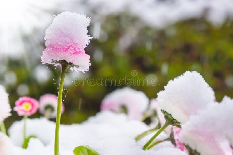 Χειμερινό κατρακύλισμα, χιόνι, μαργαρίτες, άνοιξη στοκ εικόνα