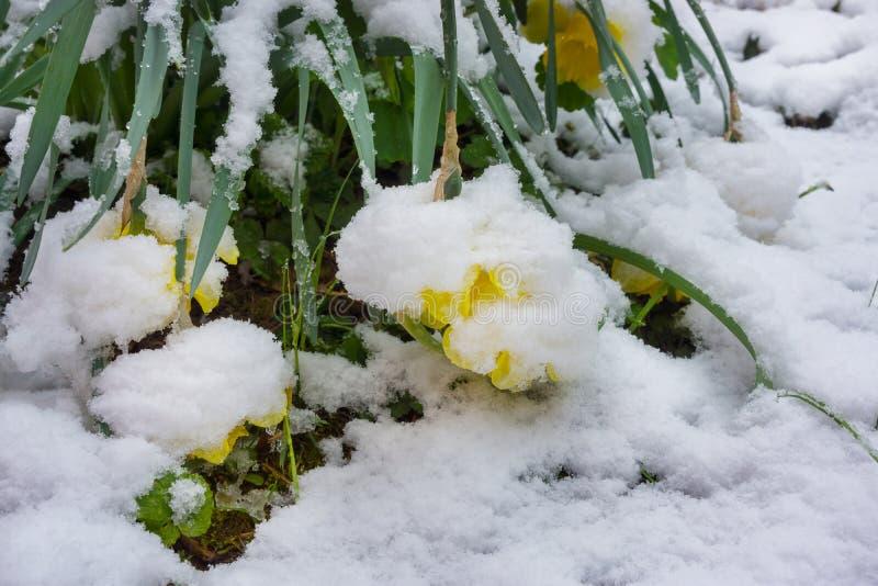 Χειμερινό κατρακύλισμα, χιόνι στα daffodils την άνοιξη στοκ εικόνες